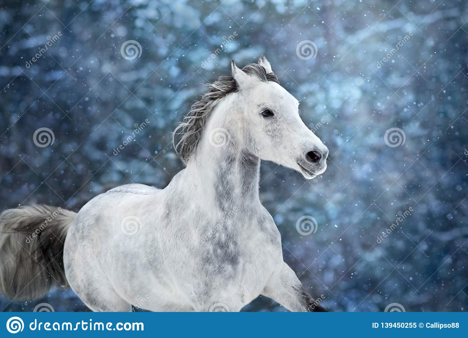 White Arabian Horse Portrait Stock Image Image Of Color Andalusian 139450255