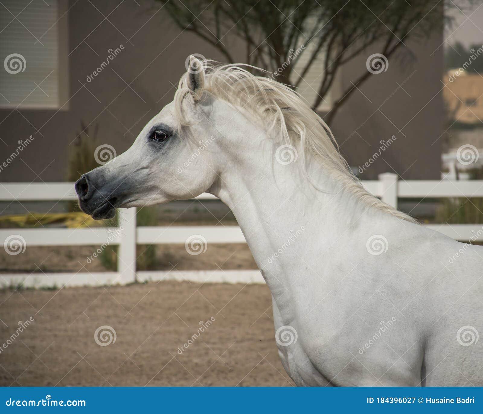 White Arabian Horse Side Face Stock Image Image Of Face Livestock 184396027