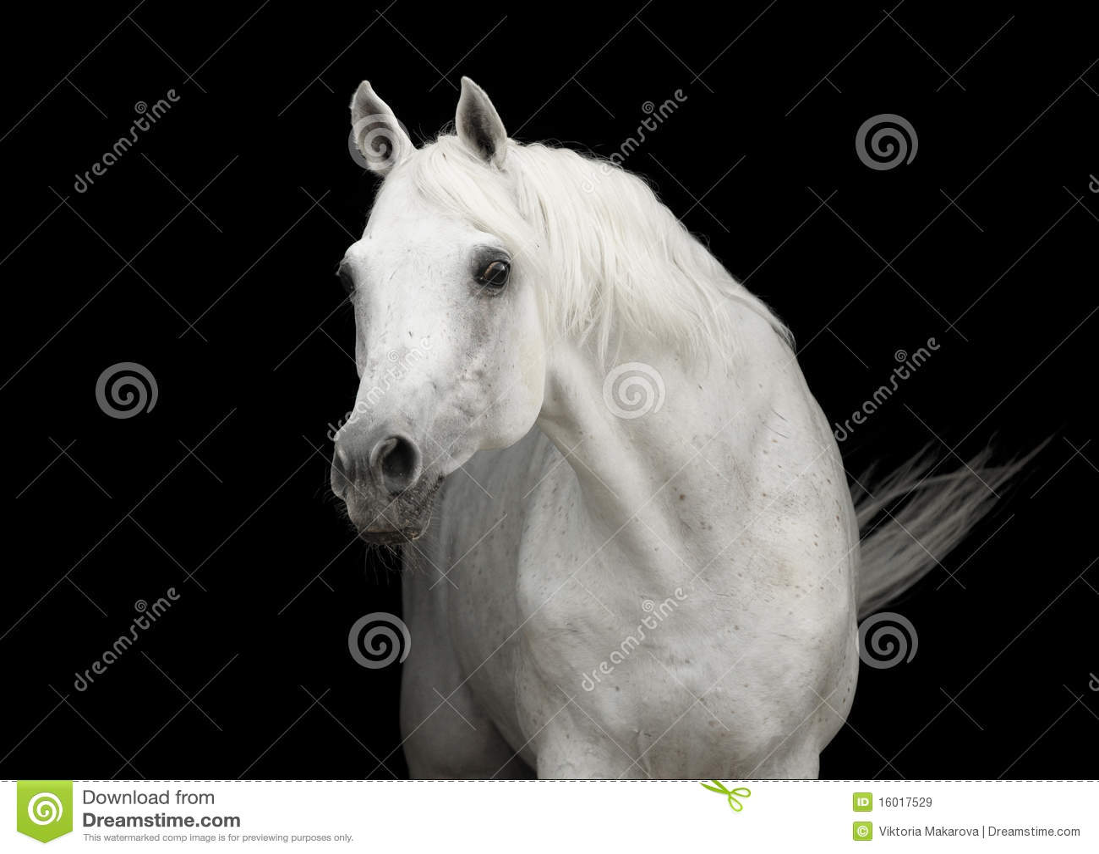 White Arabian Horse Stallion Portrait On Black Stock Image Image Of Equine Beautiful 16017529