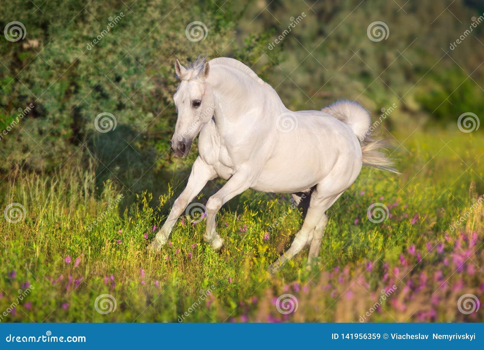 White arabian stallion