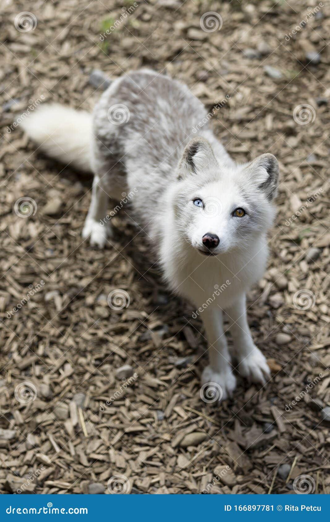 Arctic Fox Eye Color