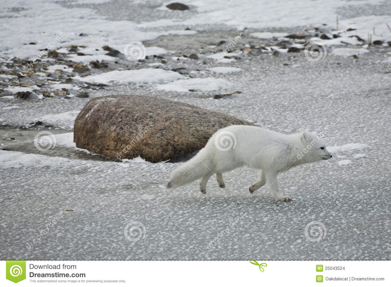 White arctic fox on the run