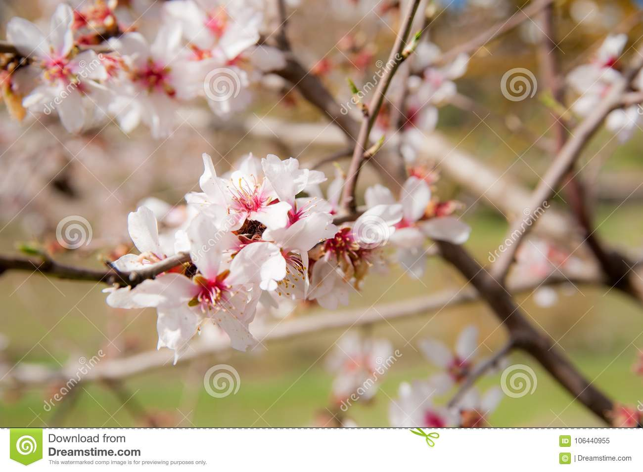 White Plum Flowers In A Bright Scenery Stock Image Image Of
