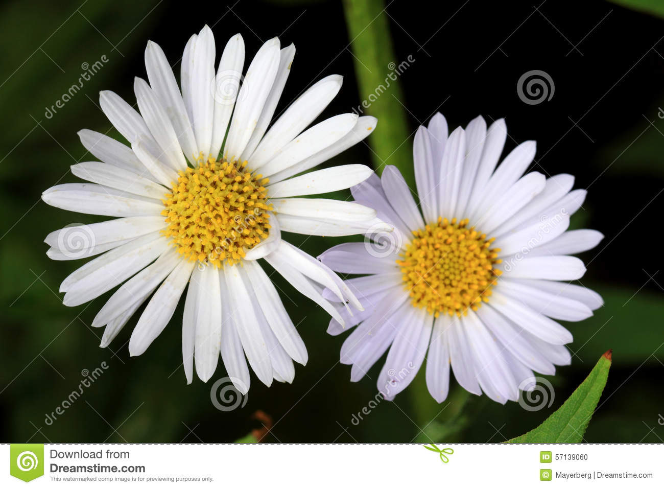 white aster flowers stock photo  image, Beautiful flower