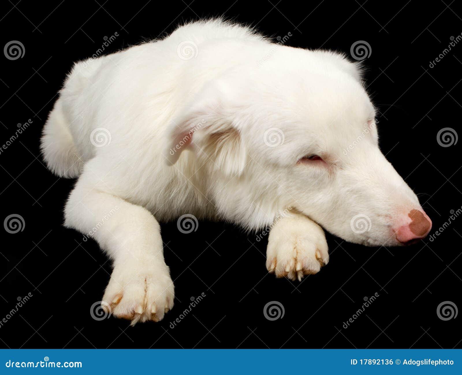 White Australian Shepherd Dog Looking Sad Royalty Free
