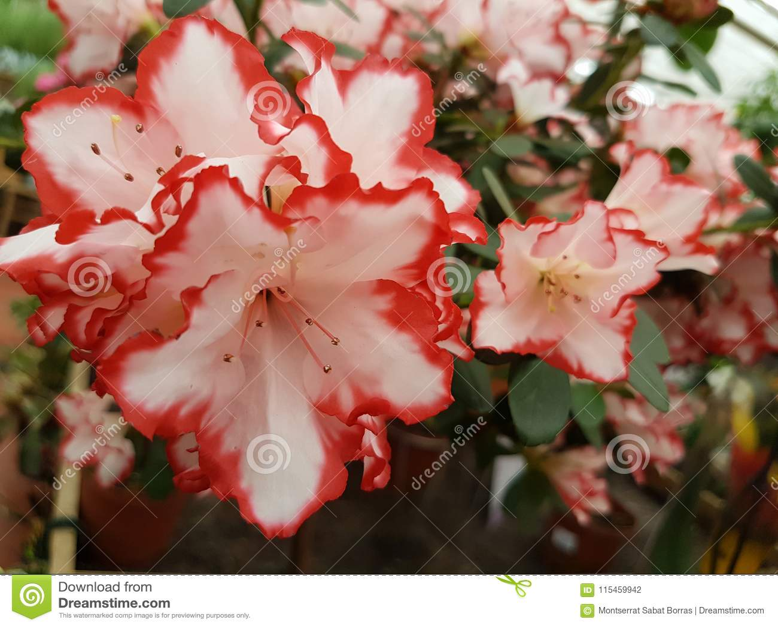 White Azalea Flower With Pink Edges Stock Photo Image Of Flowers