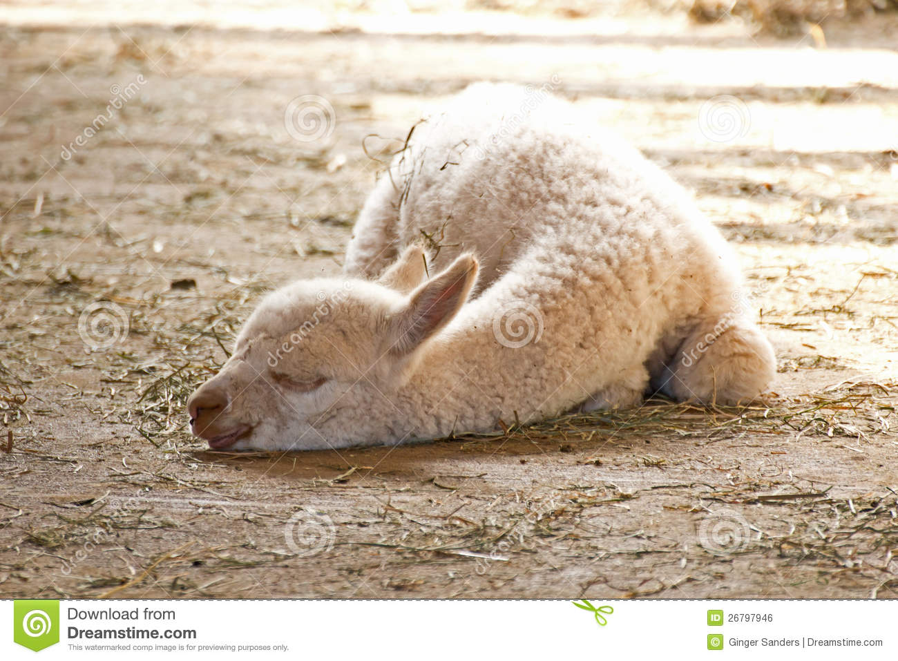 White Baby Alpaca Sleeping In Sun Royalty Free Stock Image ...