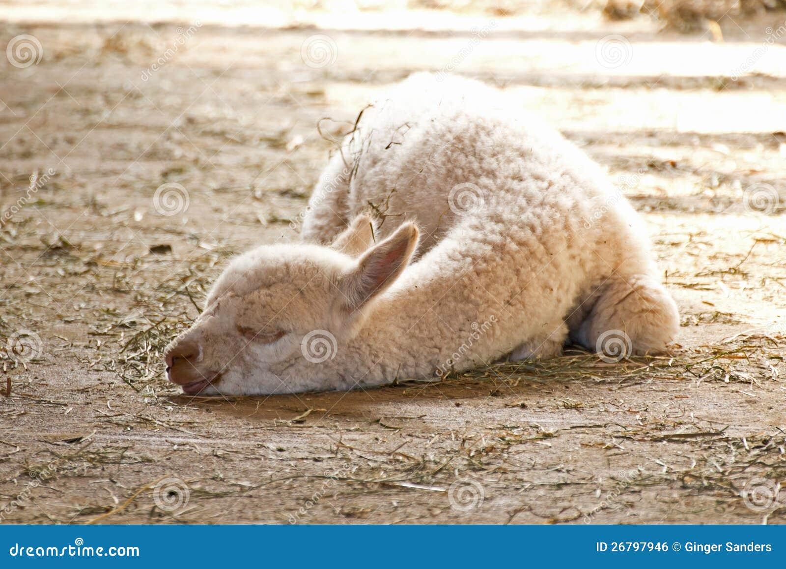 White Baby Alpaca Sleeping In Sun Royalty Free Stock Image