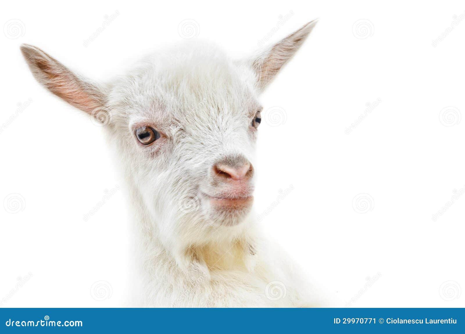 White Baby Goat Stock Image - Image: 29970771 One Goat White Background