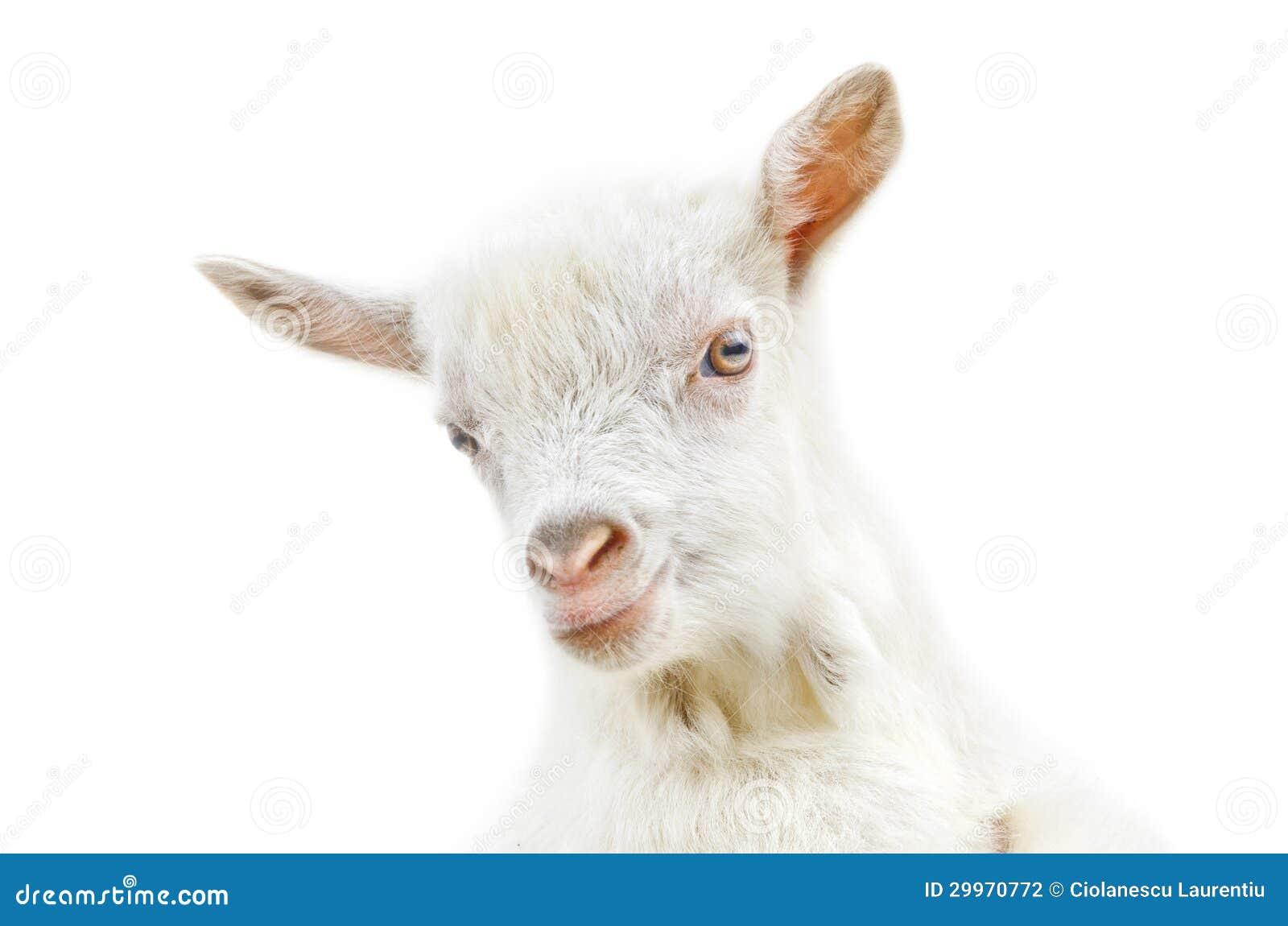 White baby goat stock photo. Image of livestock, sweet - 29970772  One Goat White Background