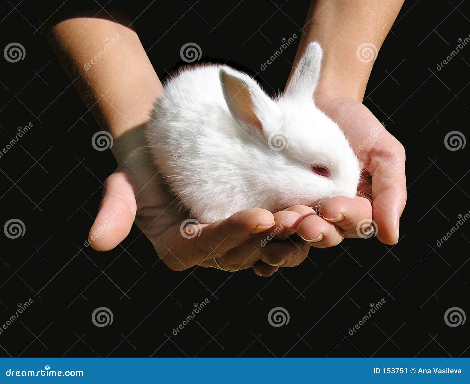 White baby-rabbit in woman s hands