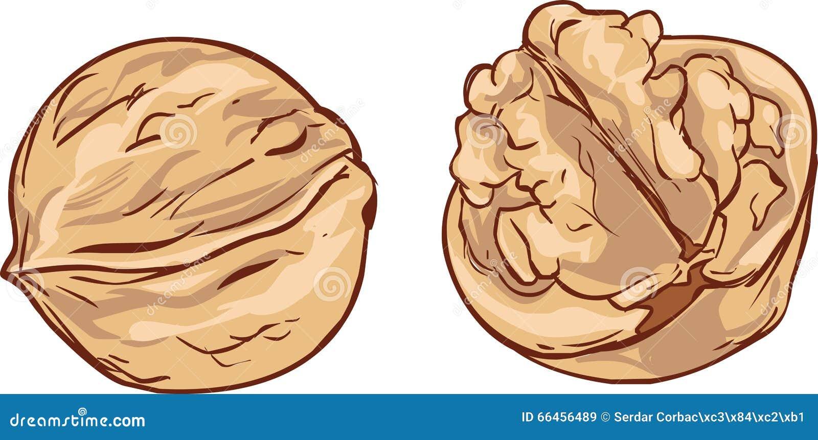 White background Hand drawn walnut cartoon vector