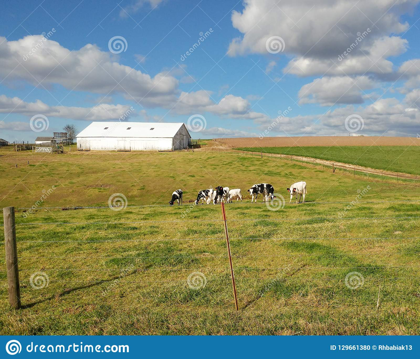 White Barn with Dairy Cows in the Pasture