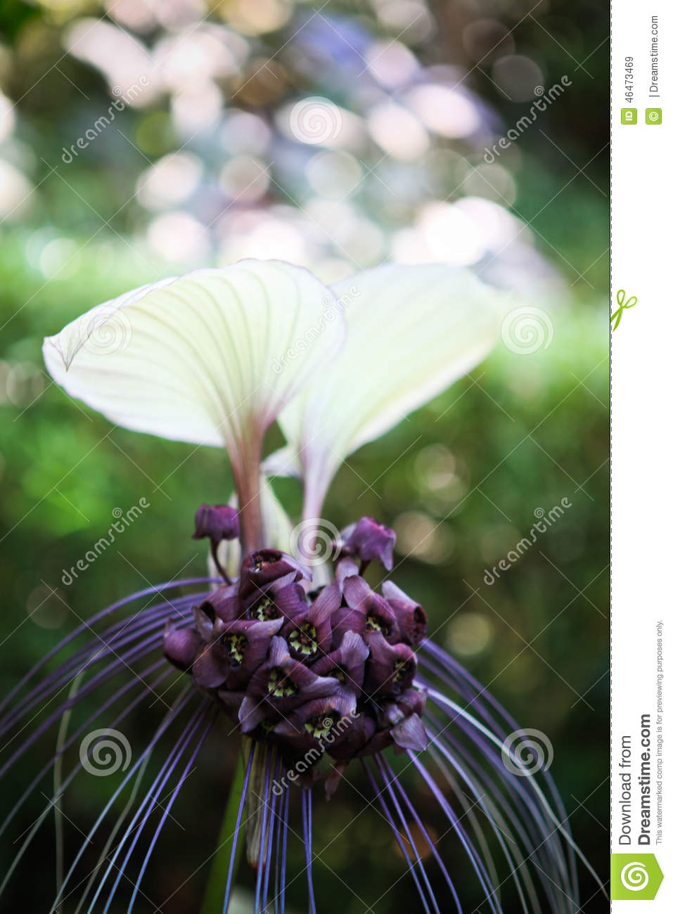 White Bat Flower Stock Image Image Of Purple Malaysia 46473469