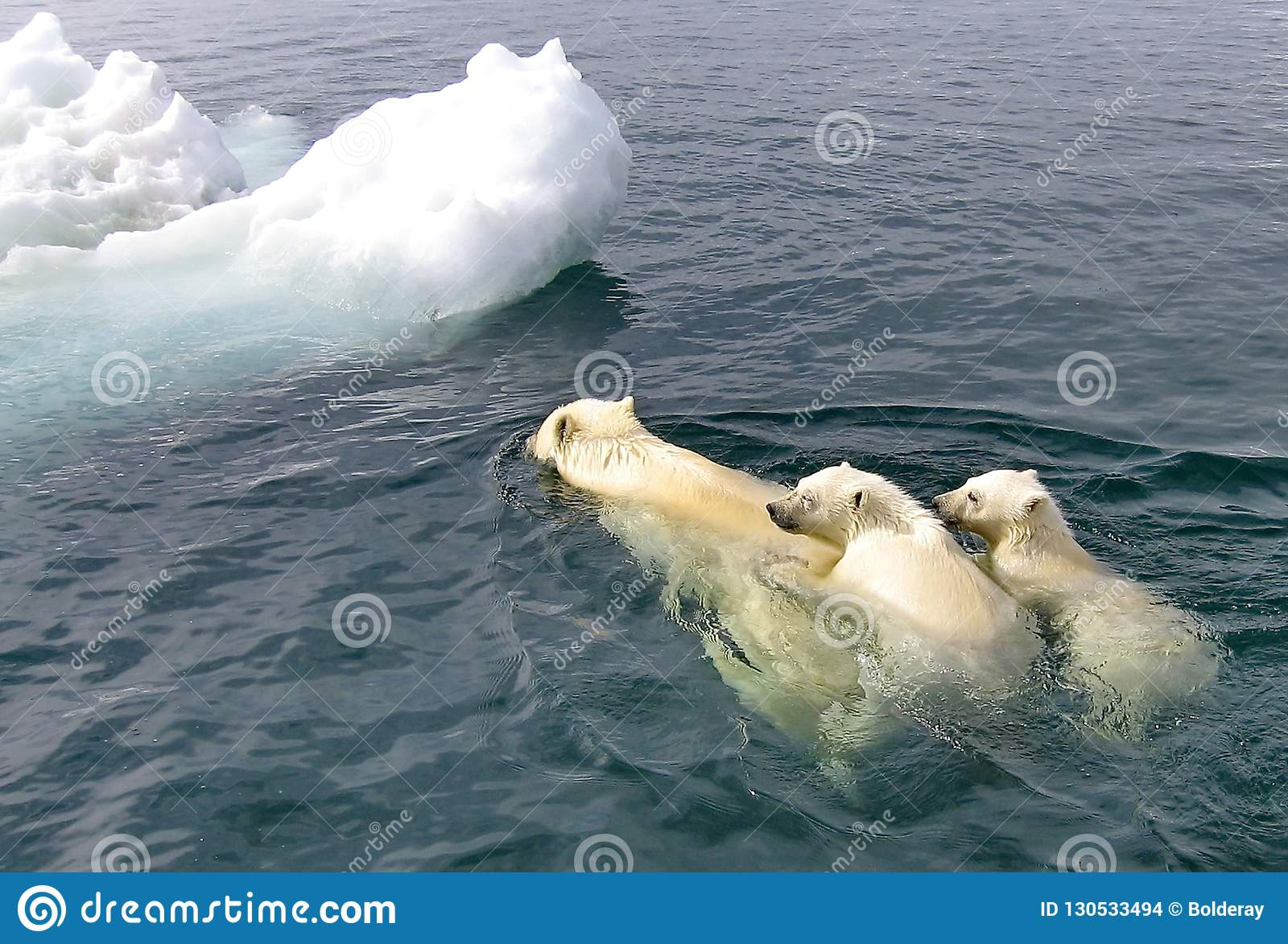 The white she-bear with the cubs floats in the Bering Sea. A polar bear, a northern bear, a umka Lat. Ursus maritimus