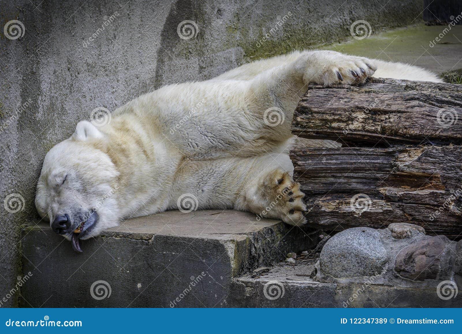 White Bear sleep in not his habitat