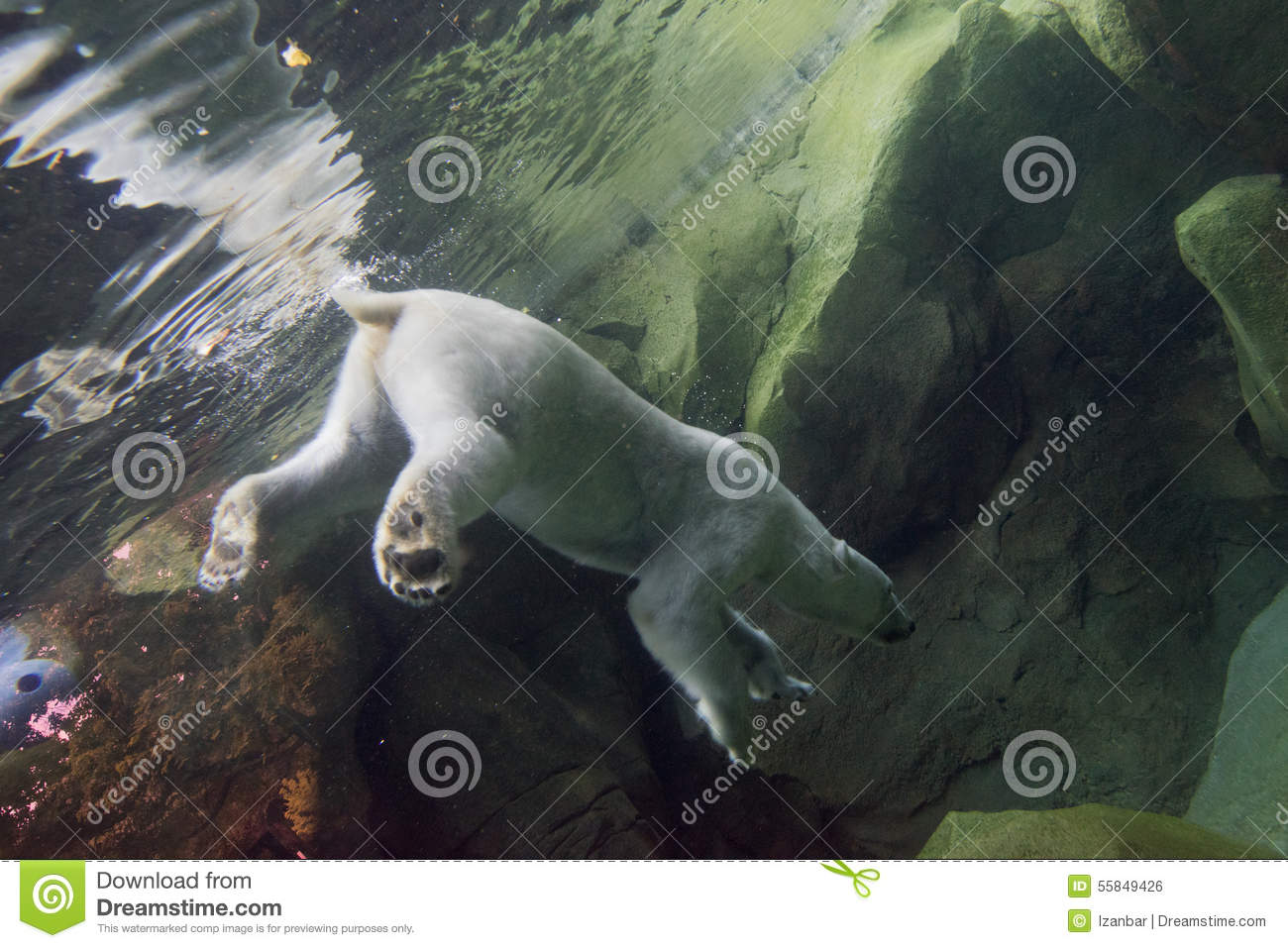 White bear underwater at the zoo