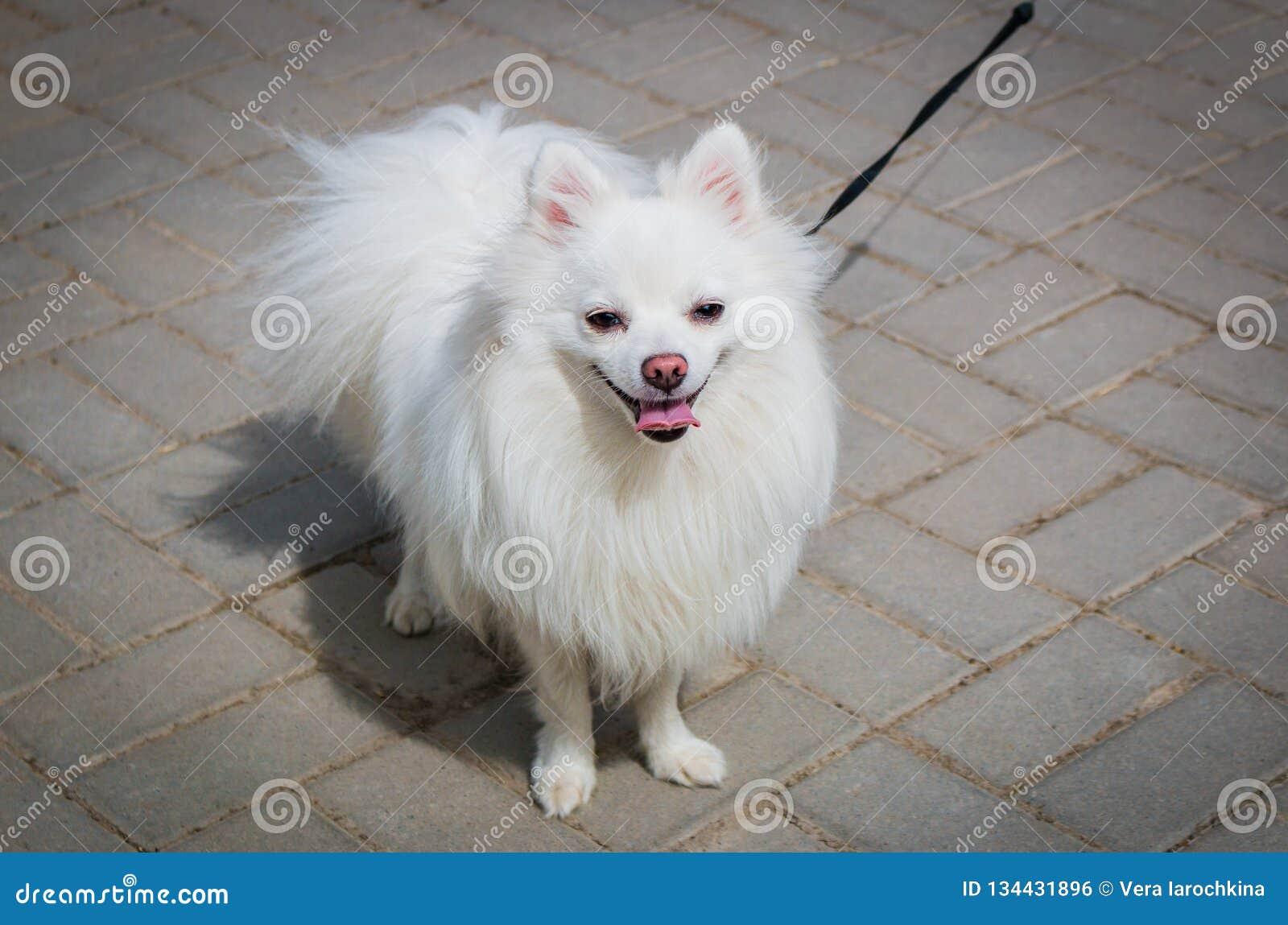 White Beautiful Fluffy Pomeranian Dog On A Leash Stock Photo Image