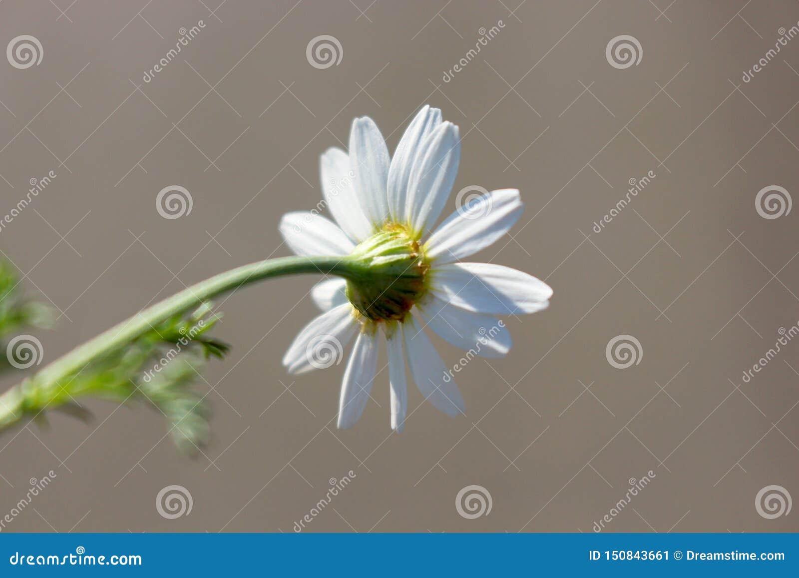 Macro photo of bright summer white chamomile on stem