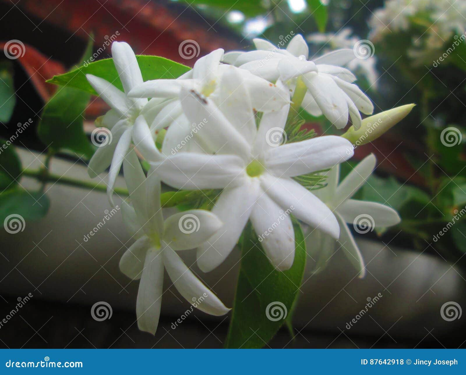 Kerala Jasmine Flower Pretty Picturesboss