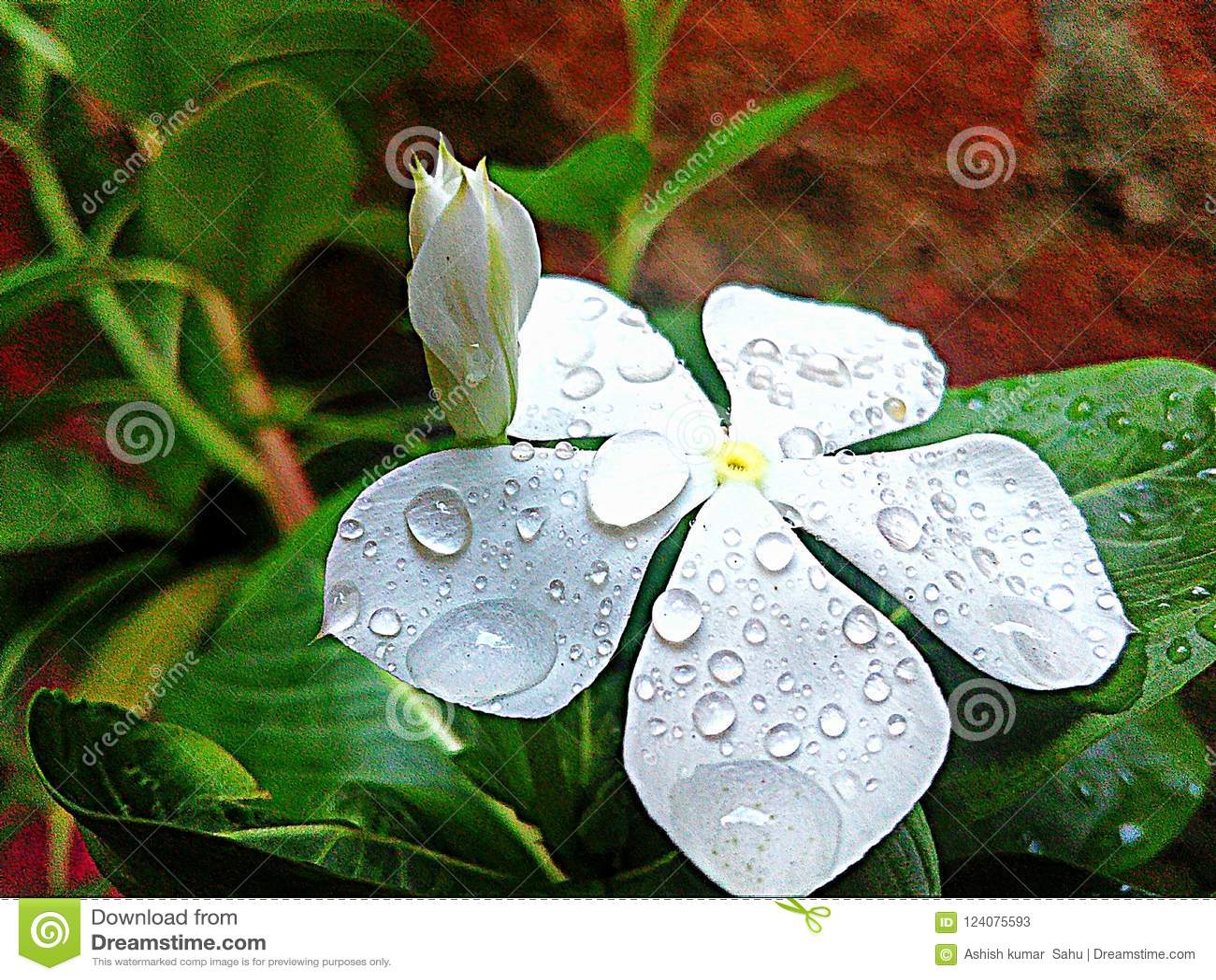 White Beautyfull Flower In Rani Sesion Stock Image Image Of