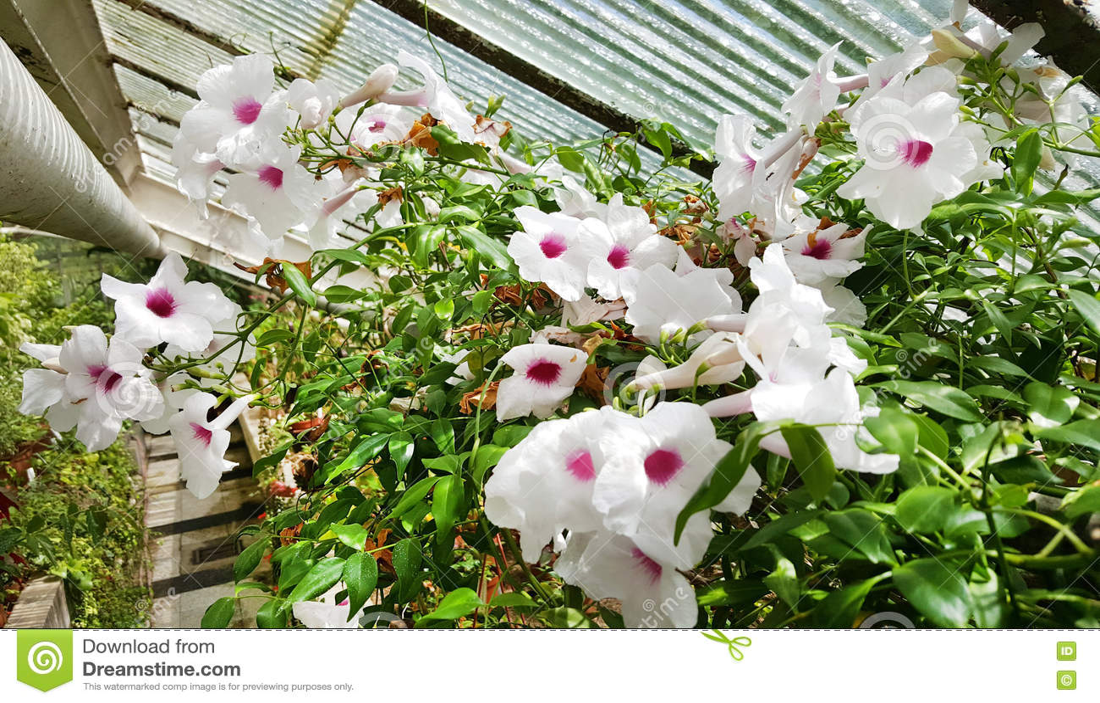 White Begonia Flowers In The Sofia Botanical Garden Stock Image 7025