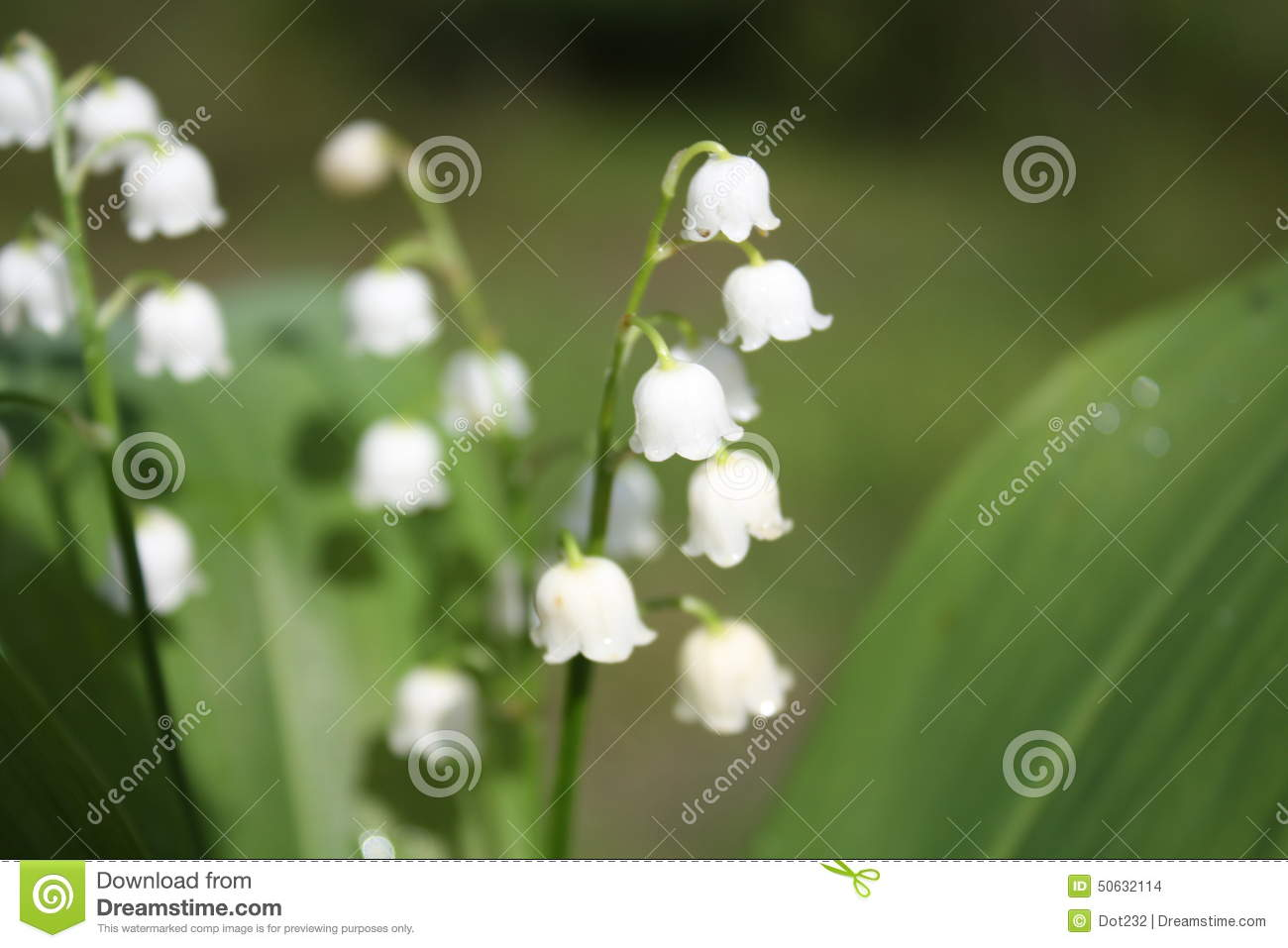 White Bell Flowers Stock Photo Image Of Floral Petai 50632114