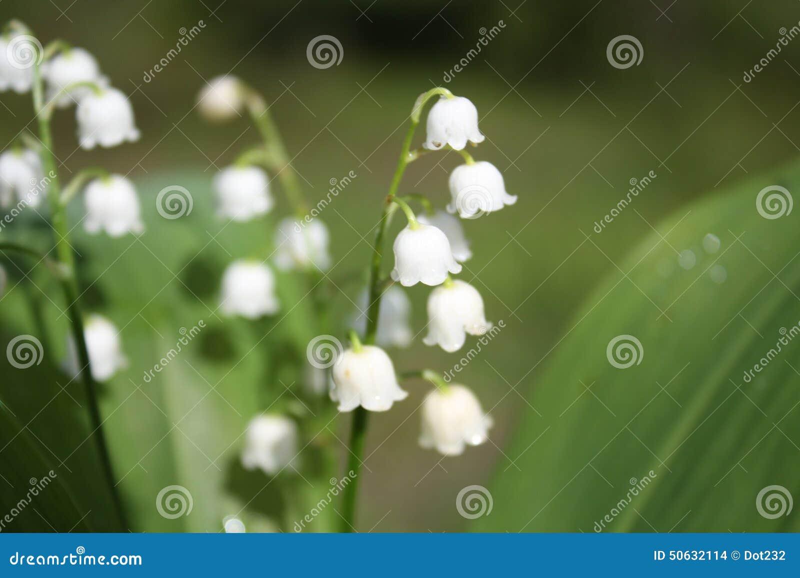 Campanelle Fiori.White Bell Flowers Stock Photo Image Of Season Fresh 50632114
