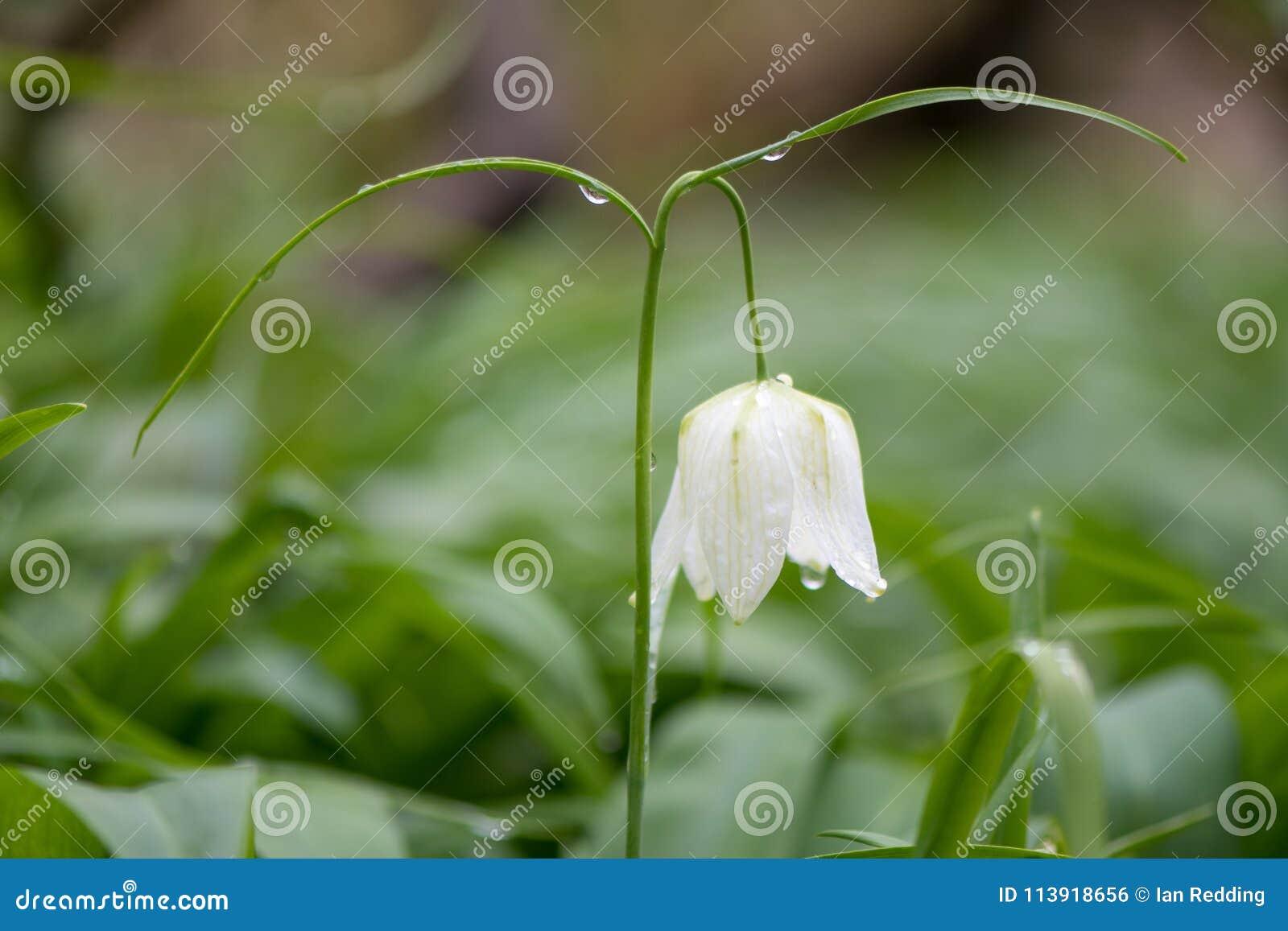 White Flowered Snake X27s Head Fritillary X28fritillaria