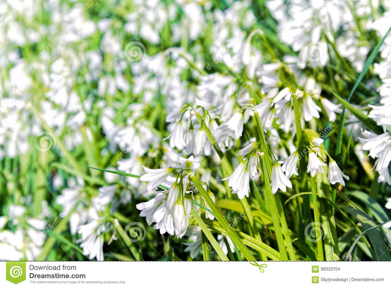 White Bells Spring Flowers Stock Photo Image Of Bright 89333704