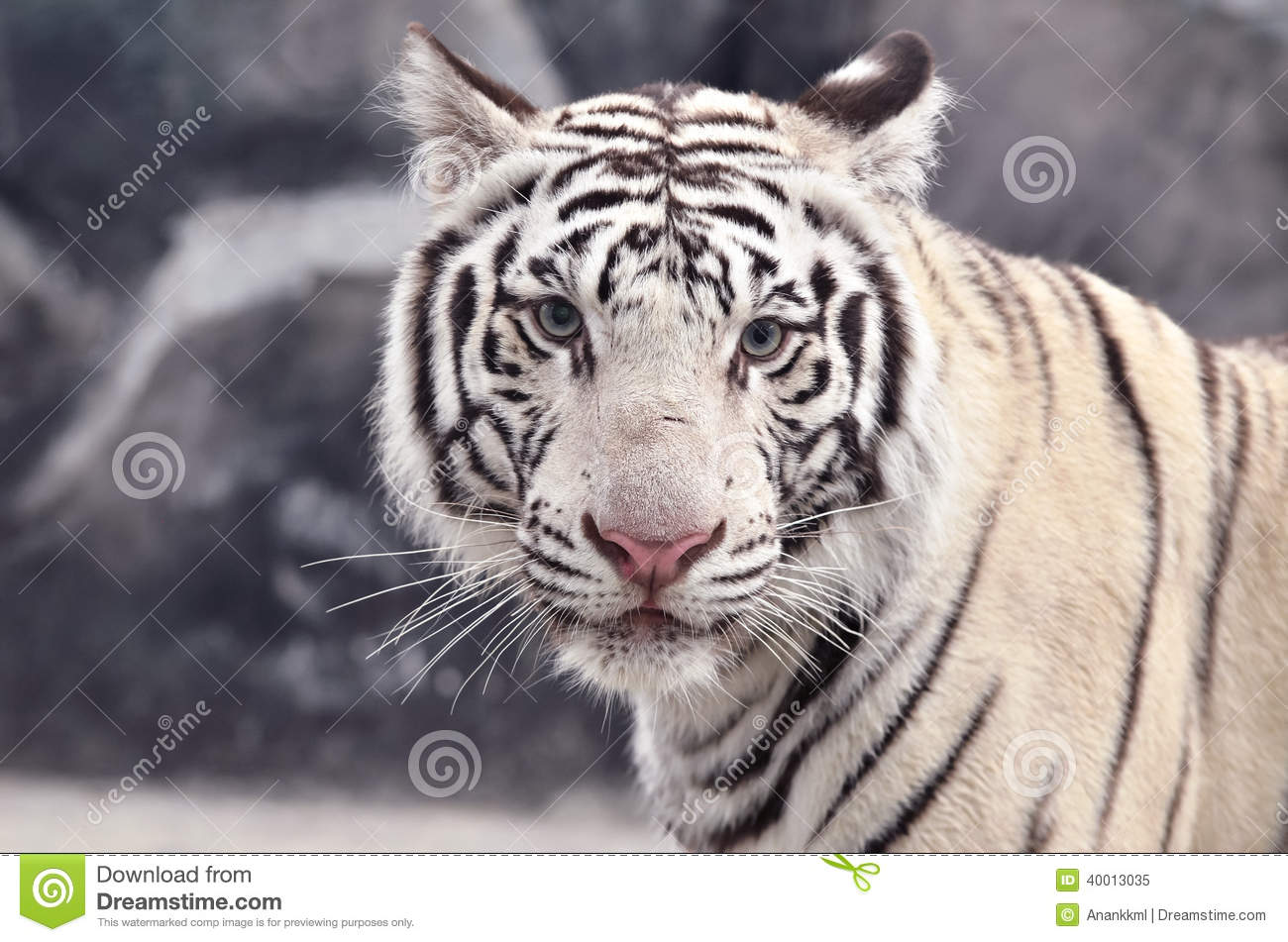 White tiger close up face - photo#18