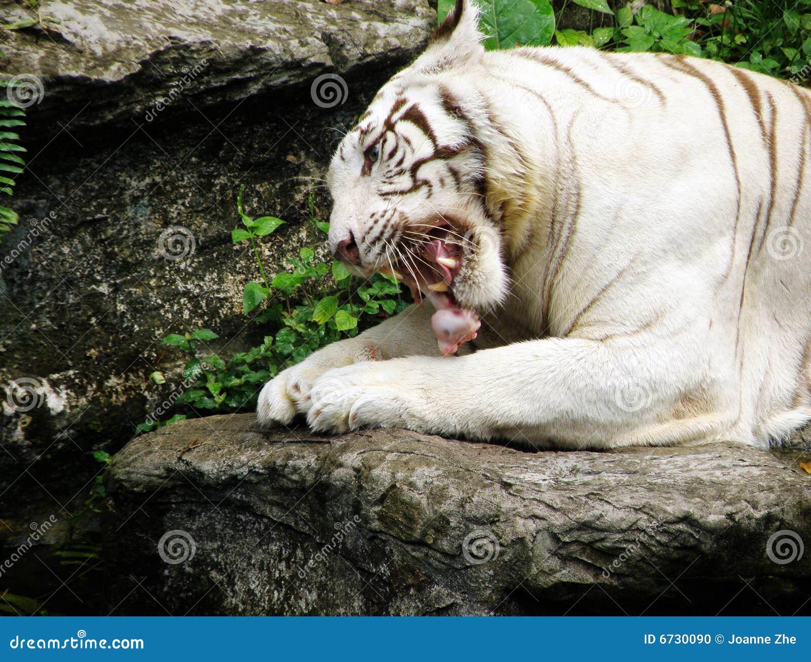 White Bengal Tiger Fee...