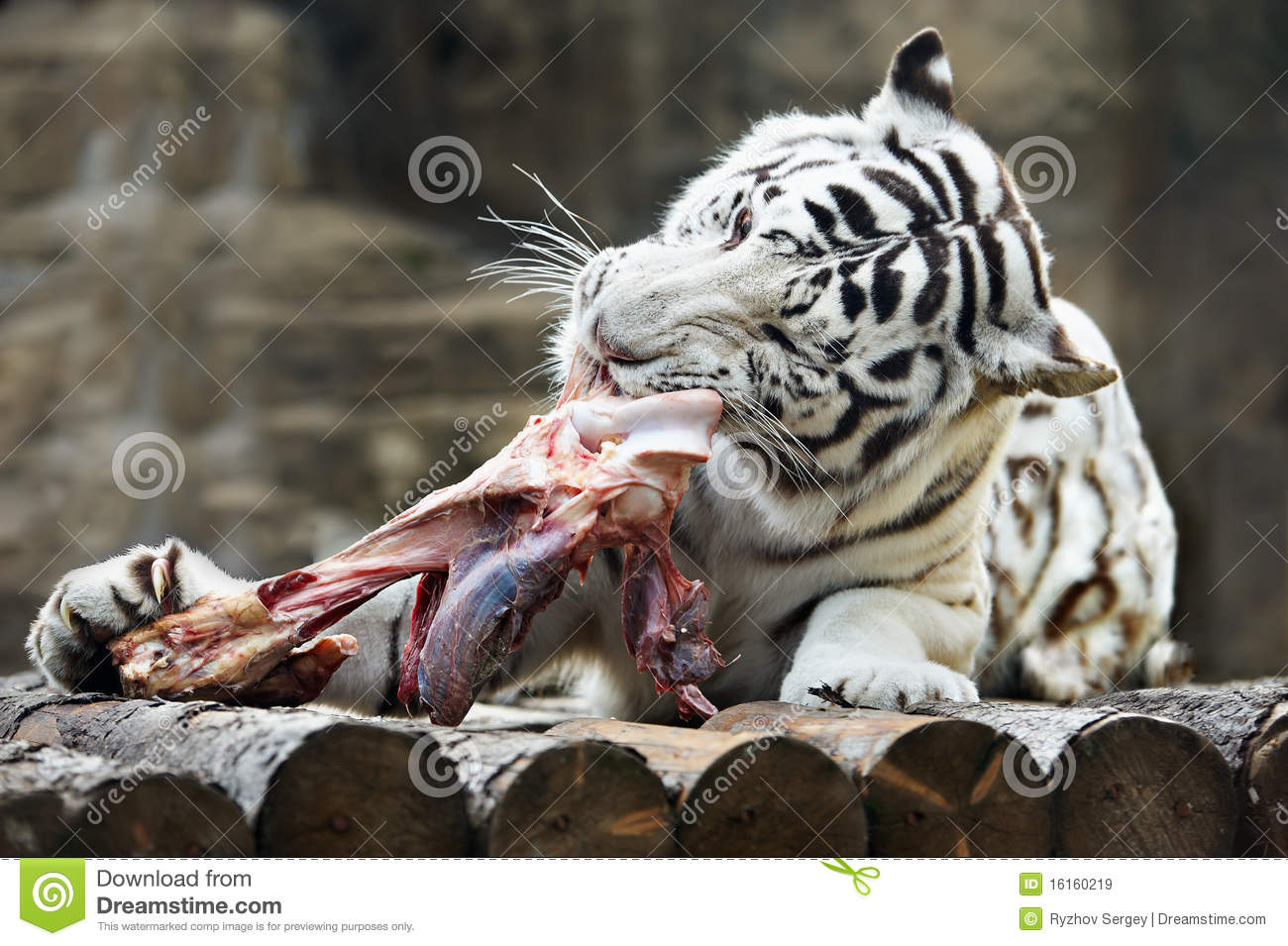 White bengal tiger tore his teeth a meat royalty free stock images image 16160219 - Alimentacion del tigre blanco ...