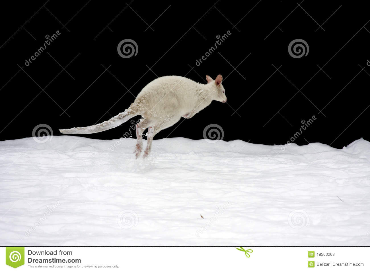 A white Bennett wallaby (Macropus rufogriseus) in