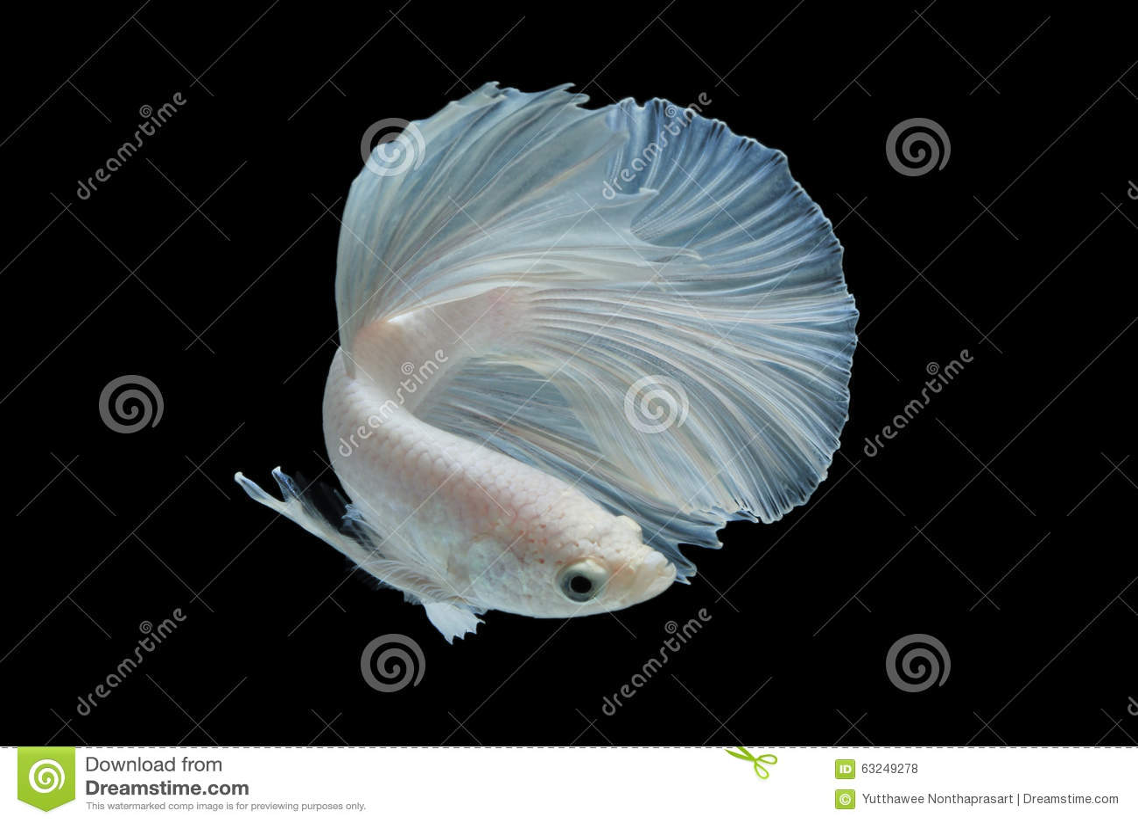 White betta fish on black background stock photo image for Black and white betta fish