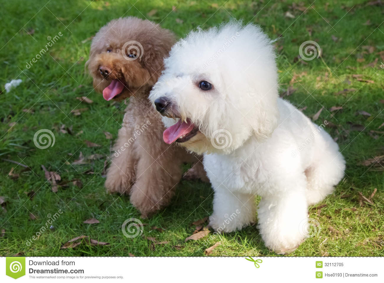 White Bichon Frise And Brown Miniature Poodle Stock Image