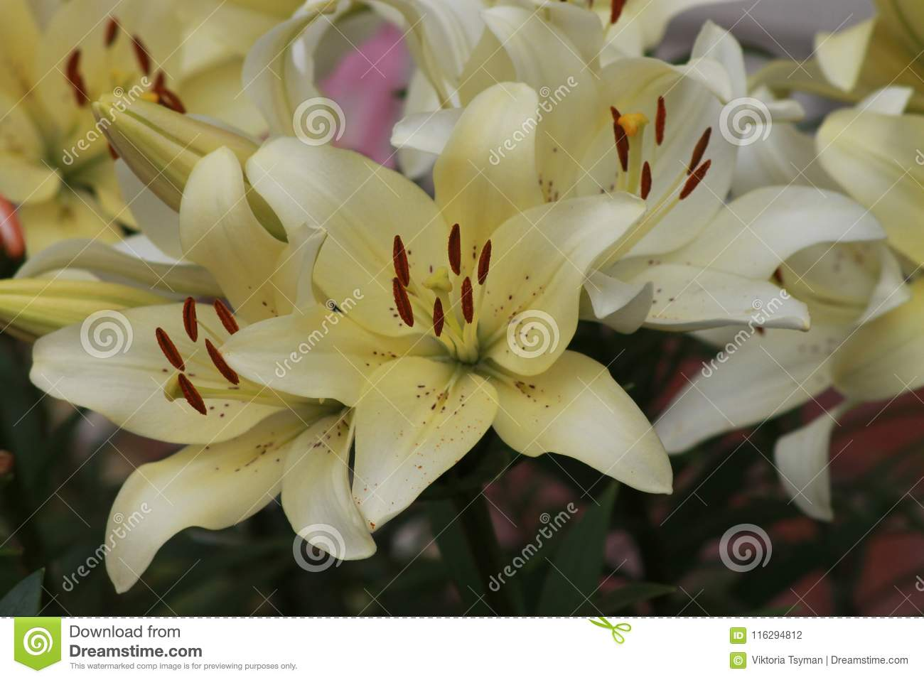 White Big Beautiful Flowers Lilies Stock Photo Image Of Gentle