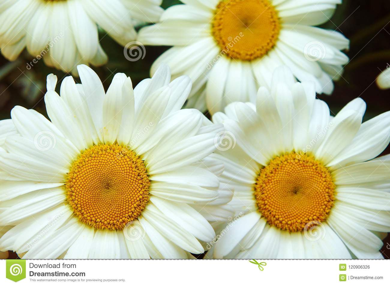 White Big Flower Chamomile Flowers Chamomile Close Up Yellow