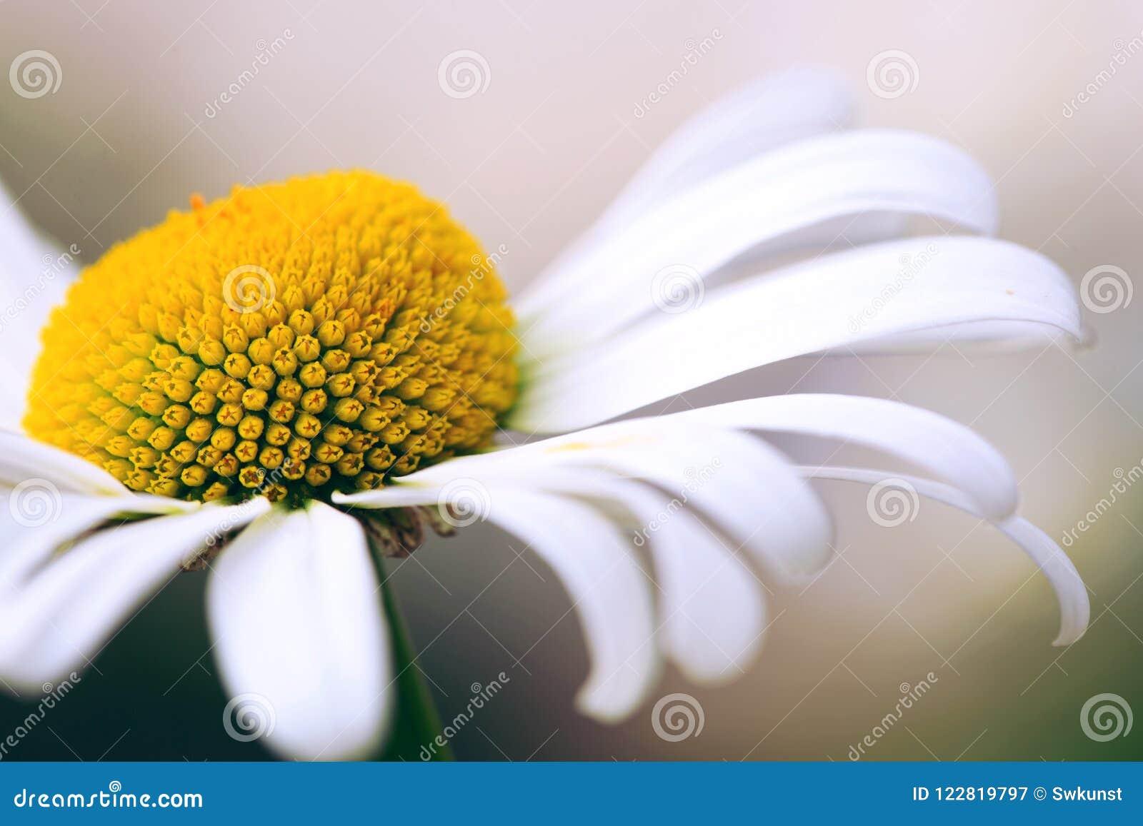 White Big Daisy Flower Isolated Stock Image Image Of Camomile