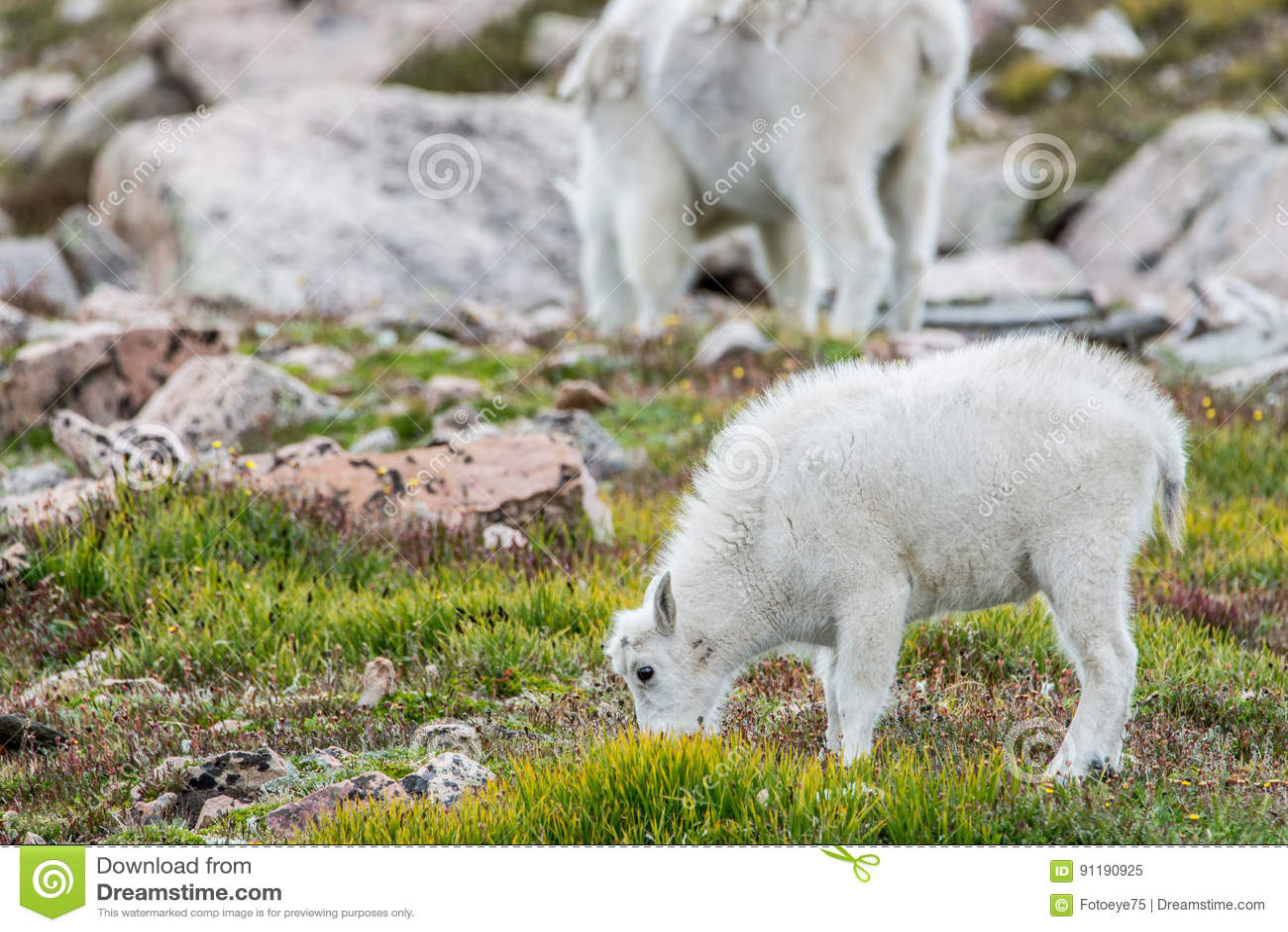 White Big Horn Sheep - Rocky Mountain Goat