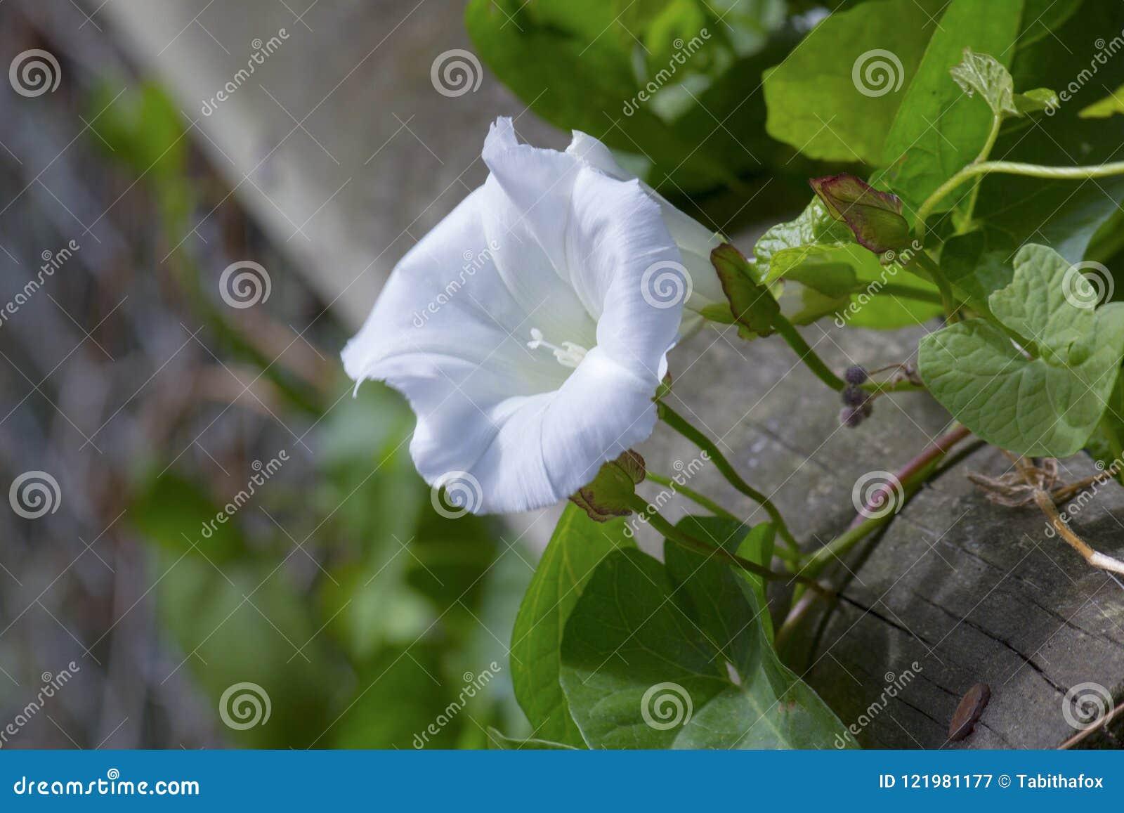 White Bind Weed Flower In Bloom Stock Image - Image of flower ...