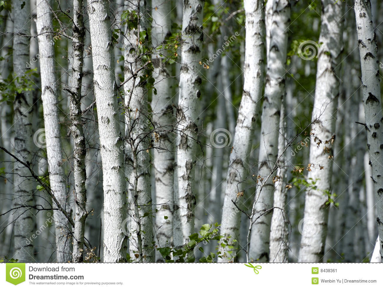 Summer growth in the forest with the beautiful birch forest