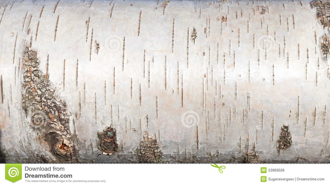Birch trees in the winter stock photo image 2170700 - White Birch Bark Close Up Background Texture Royalty Free Stock Image