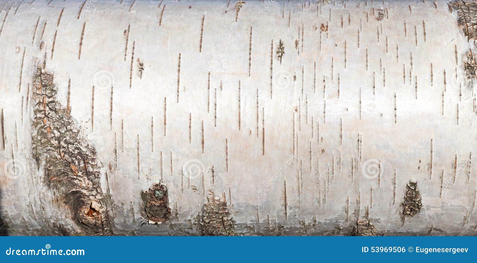 white birch bark  close up background texture stock photo