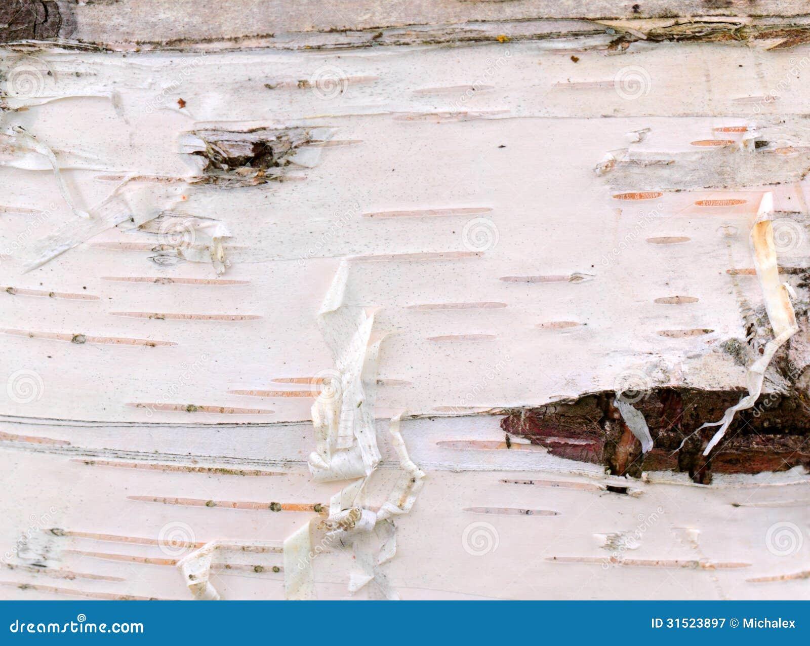 white birch bark stock image  image of bark  wood  peel