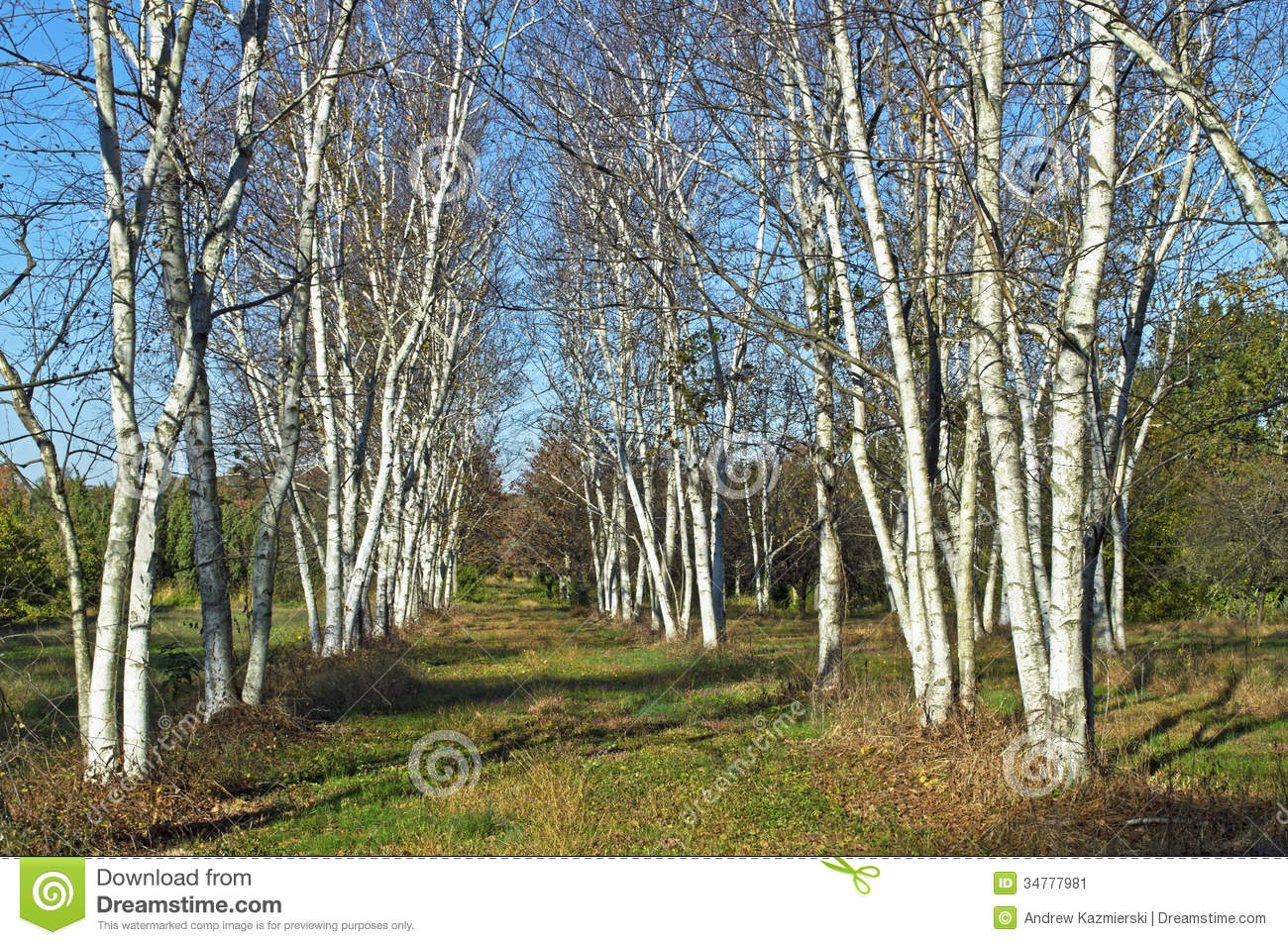 White birch rows of white birch trees in upper freehold new jersey