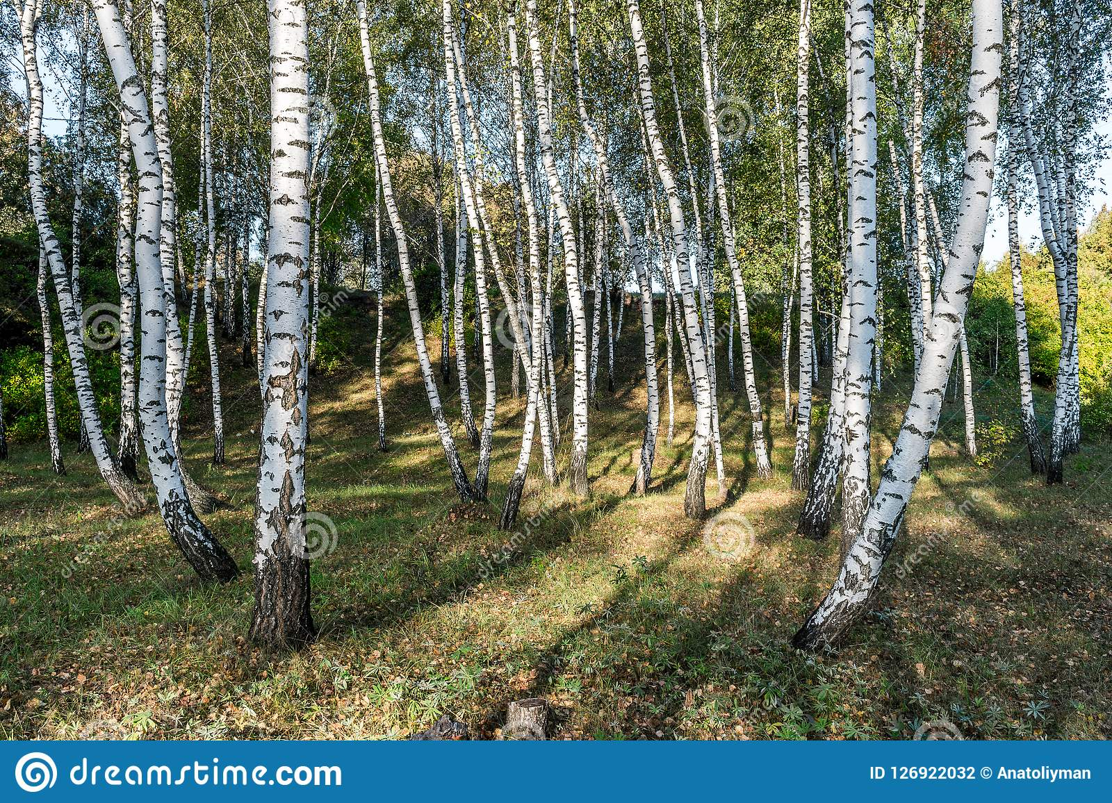 White birches in the forest