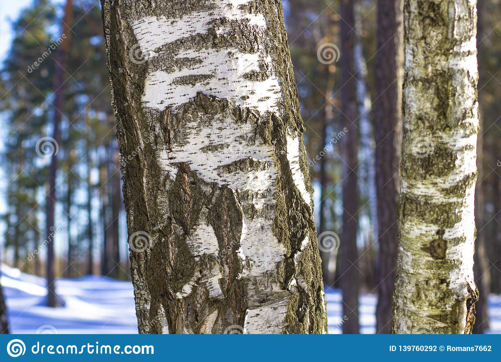 White birches in the winter forest