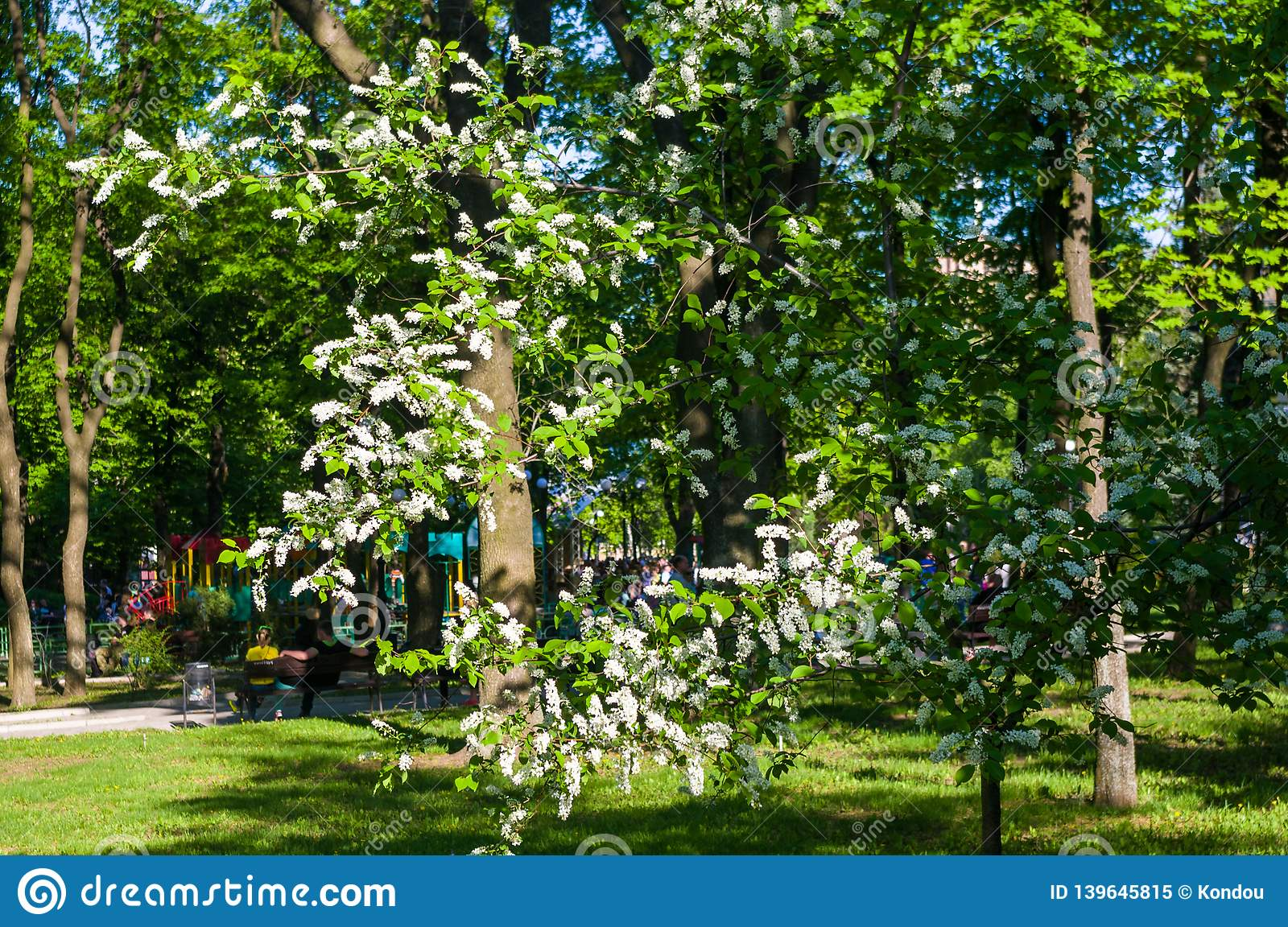 White bird cherry tree with green leaves under the summer sunlight