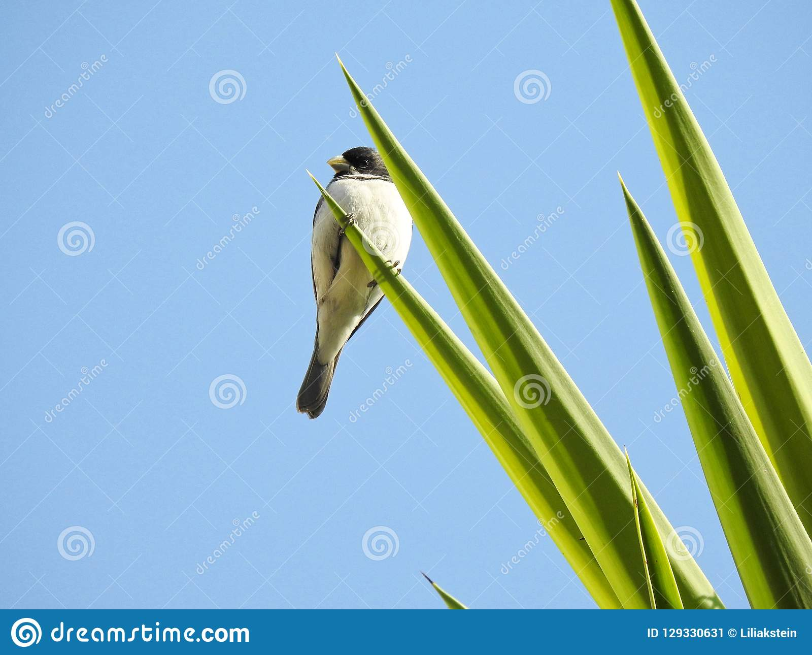 White And Black Bird Perched On Pointed Leaves Of A Tree Stock Image